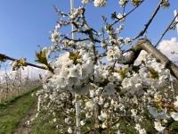Kirschblüte Nahaufnahme