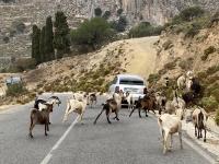 2021 05 30 Kalymnos Inselrundfahrt kurzer Stopp wegen Ziegenquerung